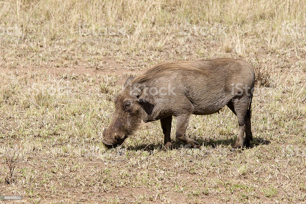 Warthog royalty-free stock photo