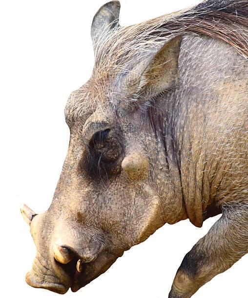 warthog pig animal close up head shot isolated white background - pig ugly stock-fotos und bilder