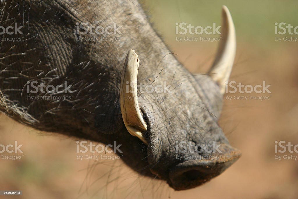Warthog Snout royalty-free stock photo