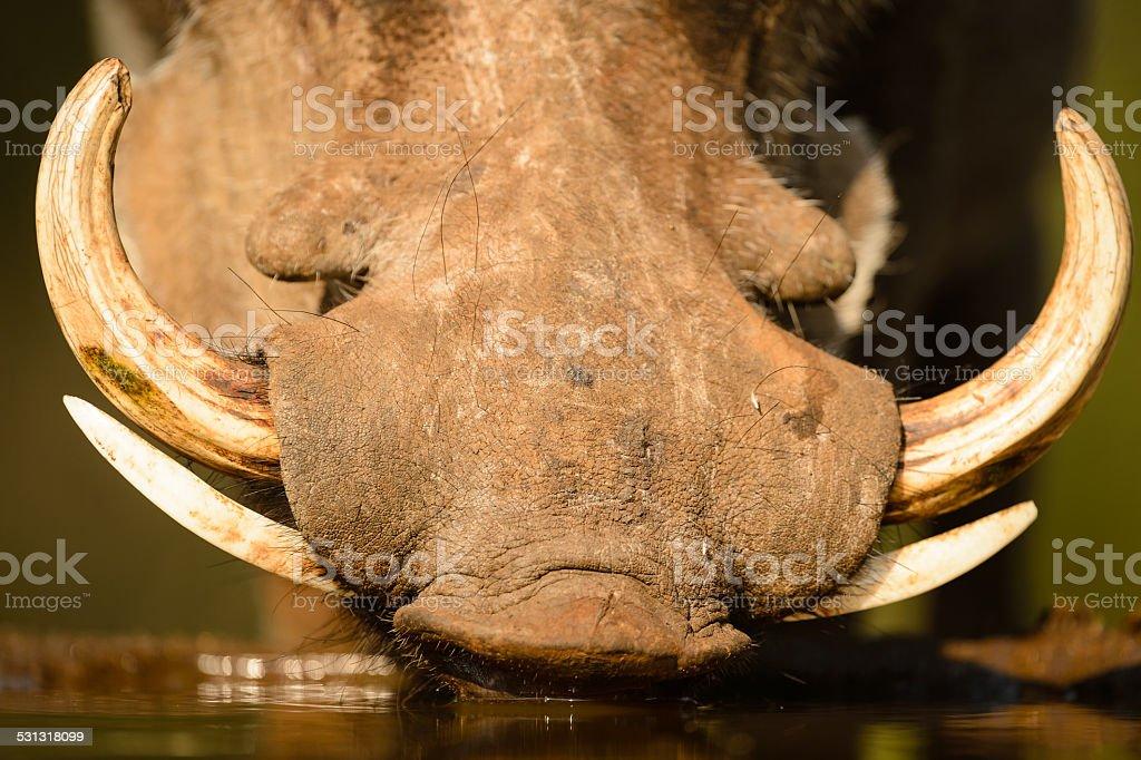 Warthog tusks close up stock photo