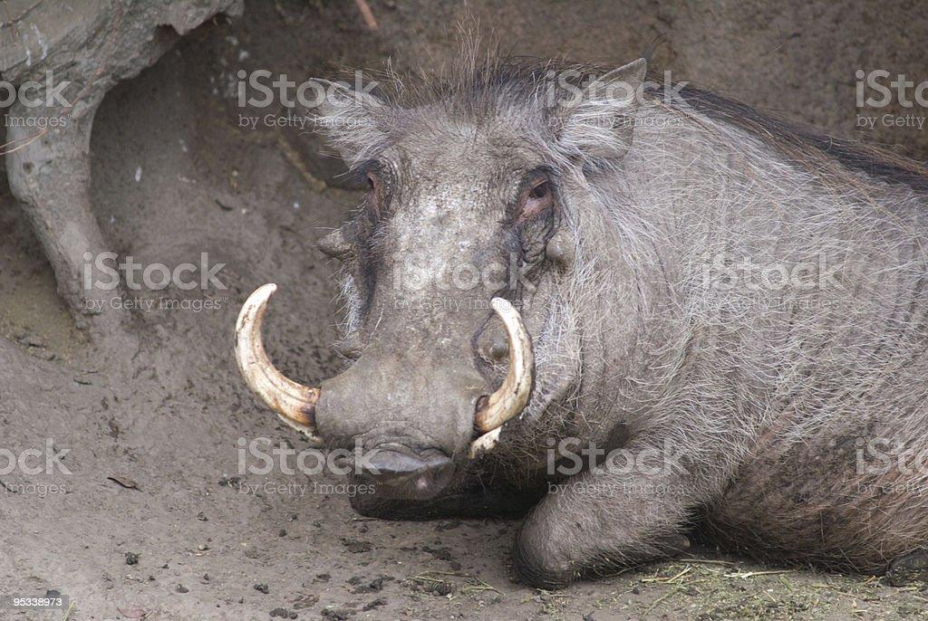 Warthog with attitude royalty-free stock photo