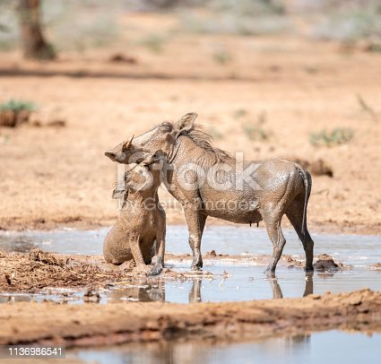 Mother and her little piglet bathing in a mud hole in Namibia. Love interaction. Nikon D850. Converted from RAW.