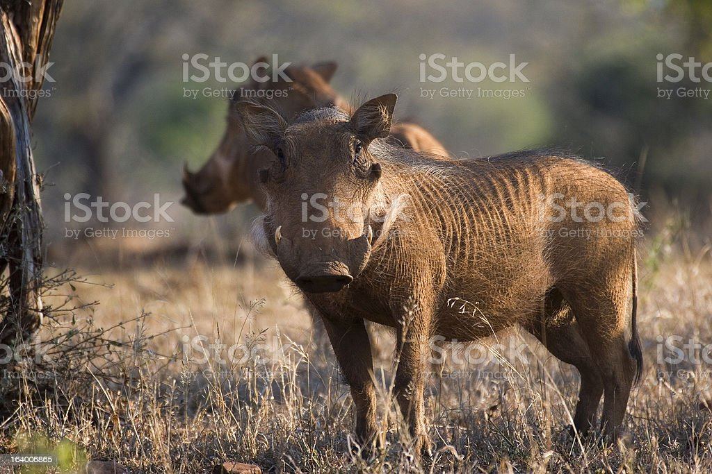 Warthogs in Hluhluwe iMfolozi Game Reserve South Africa stock photo
