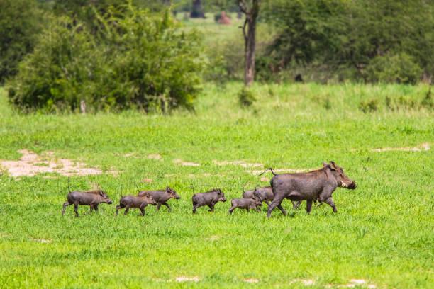 warzenschweine in tarangire national park, tansania. - pig ugly stock-fotos und bilder
