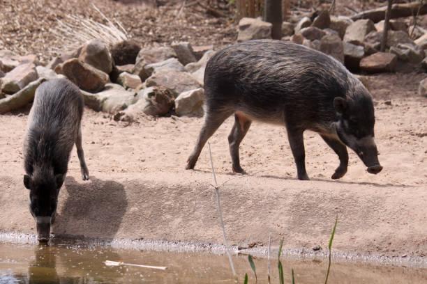 Warthogs stock photo