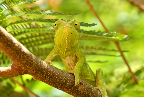 a chameleon looks for something to eat in central Madagascar