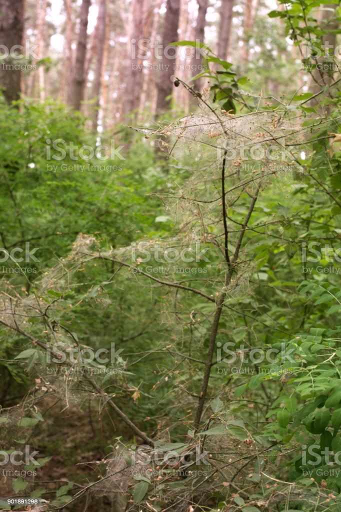Warty euonymus, entangled by caterpillars codling moth, in a wild deep forest stock photo