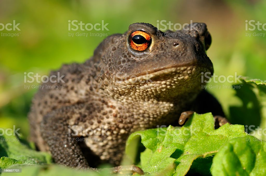 A warty toad sitting on a leaf with its mouth closed stock photo