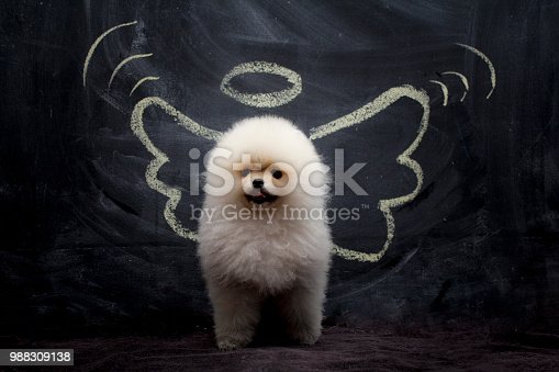 Funny portrait of a Pomeranian dog standing in front of the black wall with the angel wings and a halo drawn on it.