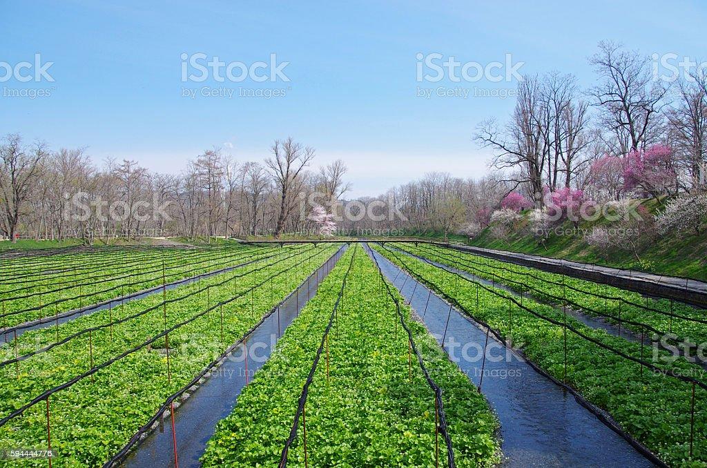 Wasabi farm (Azumino) ストックフォト