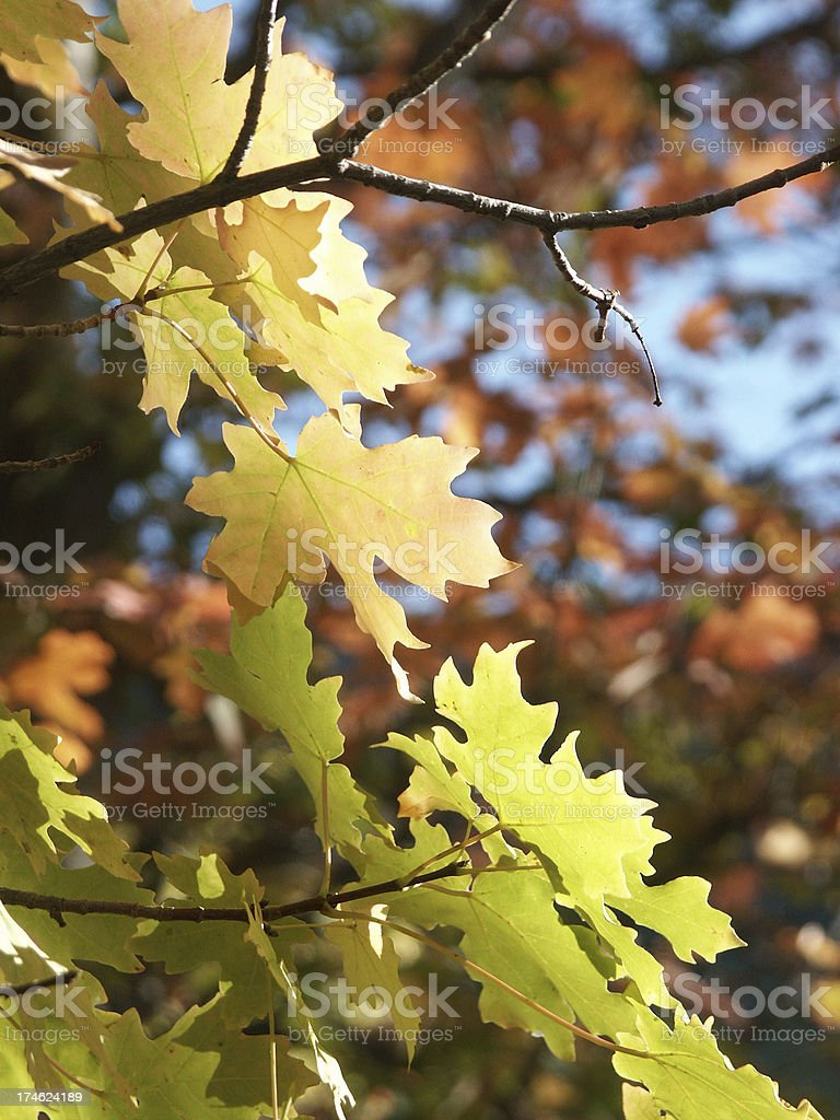 Wasatch Autumn Leaves royalty-free stock photo