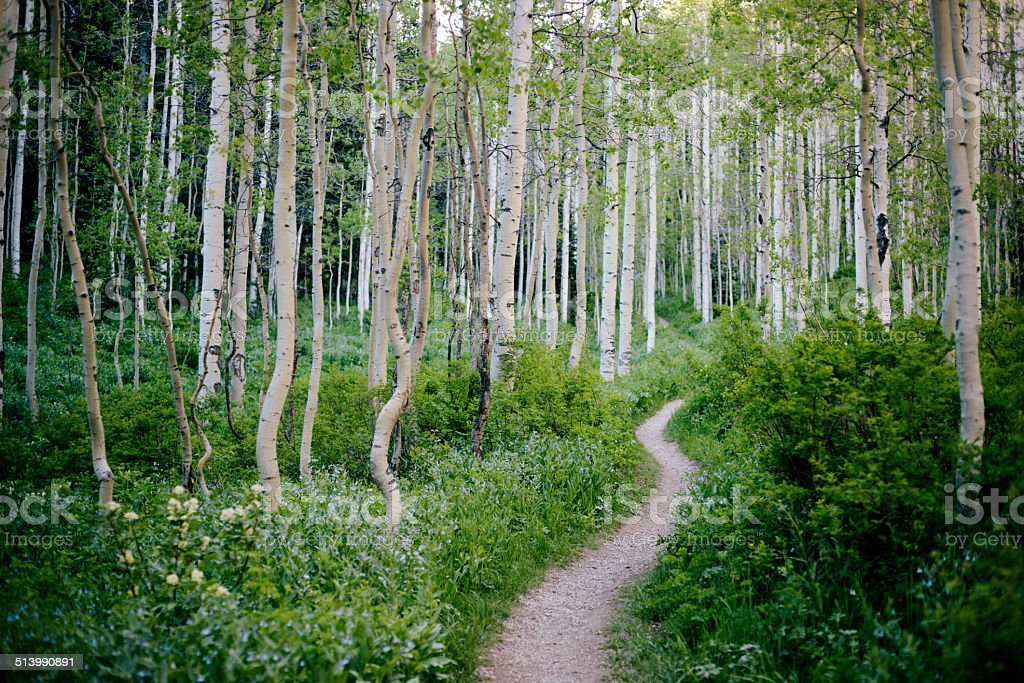 Wasatch Mountain State Park, Silver Birch stock photo