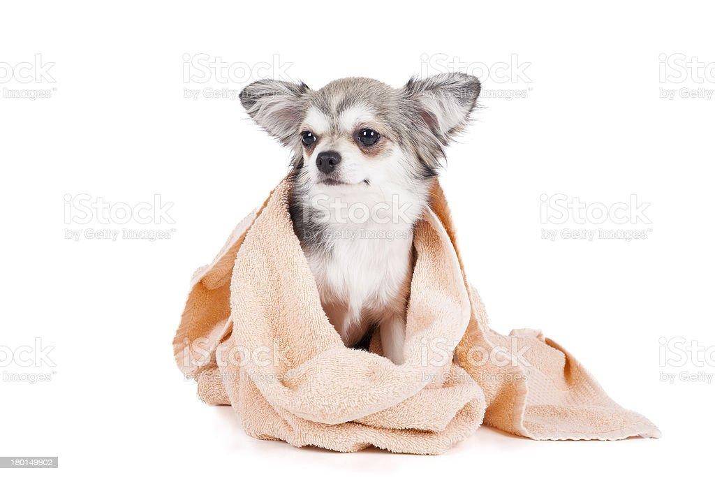 Wash the dog royalty-free stock photo