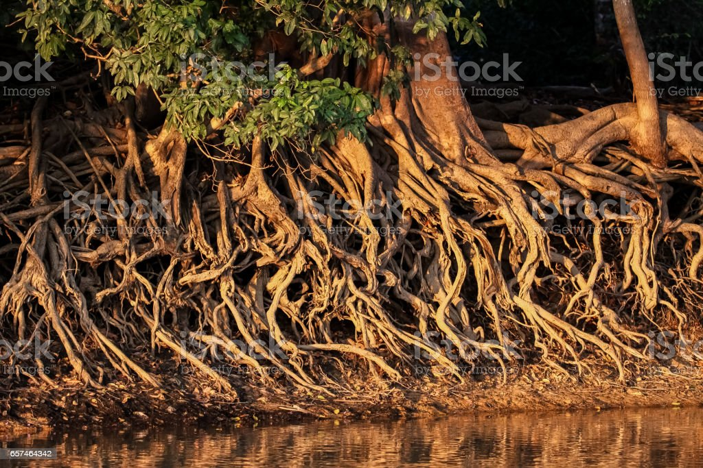 Wurzeln am Rande des Flusses in warmes Licht am Nachmittag ausgewaschen – Foto