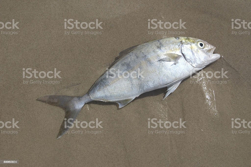 Washed Up Fish royalty-free stock photo