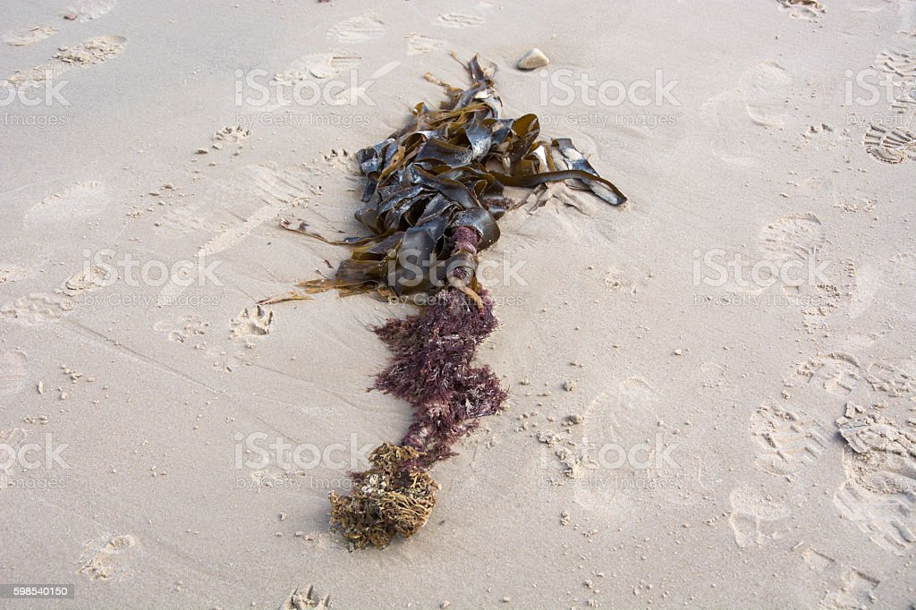 Washed up kelp among footprints photo libre de droits