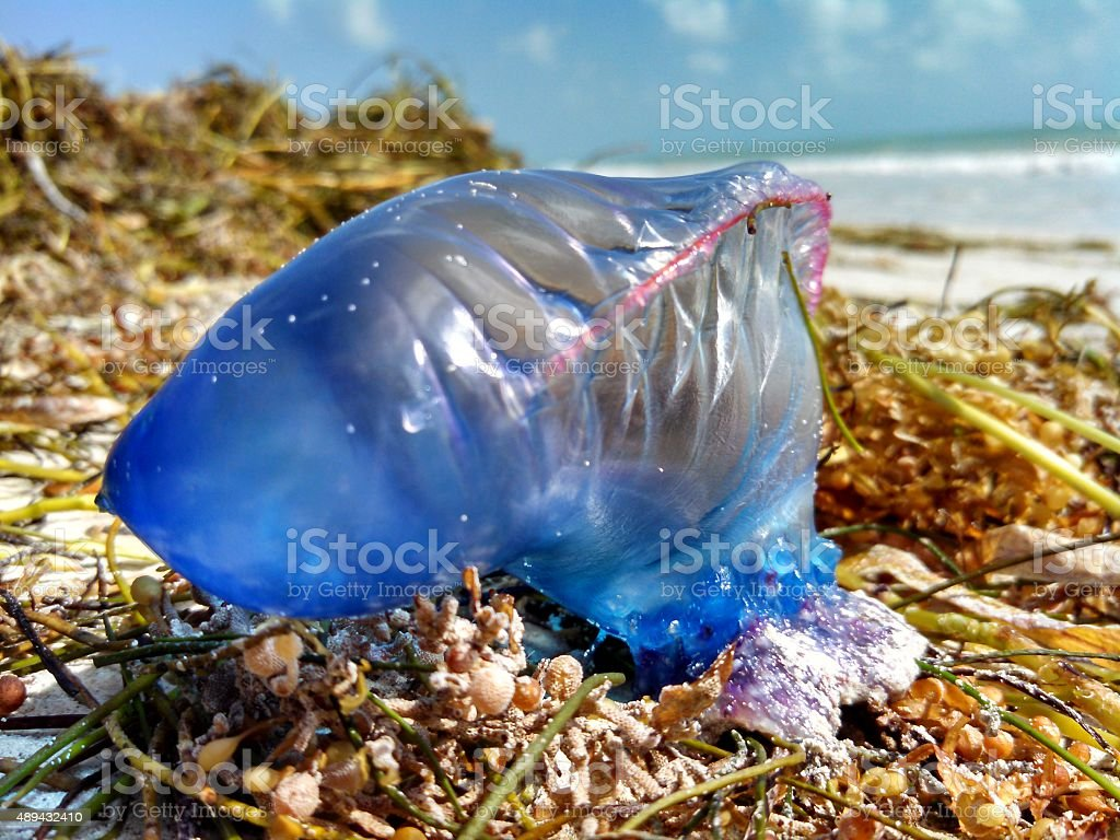 Washed Up Portuguese Man O' War stock photo