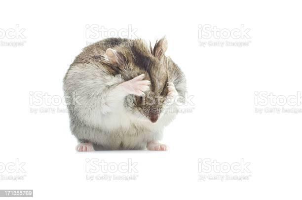 Washing djungarian hamster picture id171355769?b=1&k=6&m=171355769&s=612x612&h=01mro8q70dzjpcr1c5ijhskt8ilalvpdydcxg mbkw0=