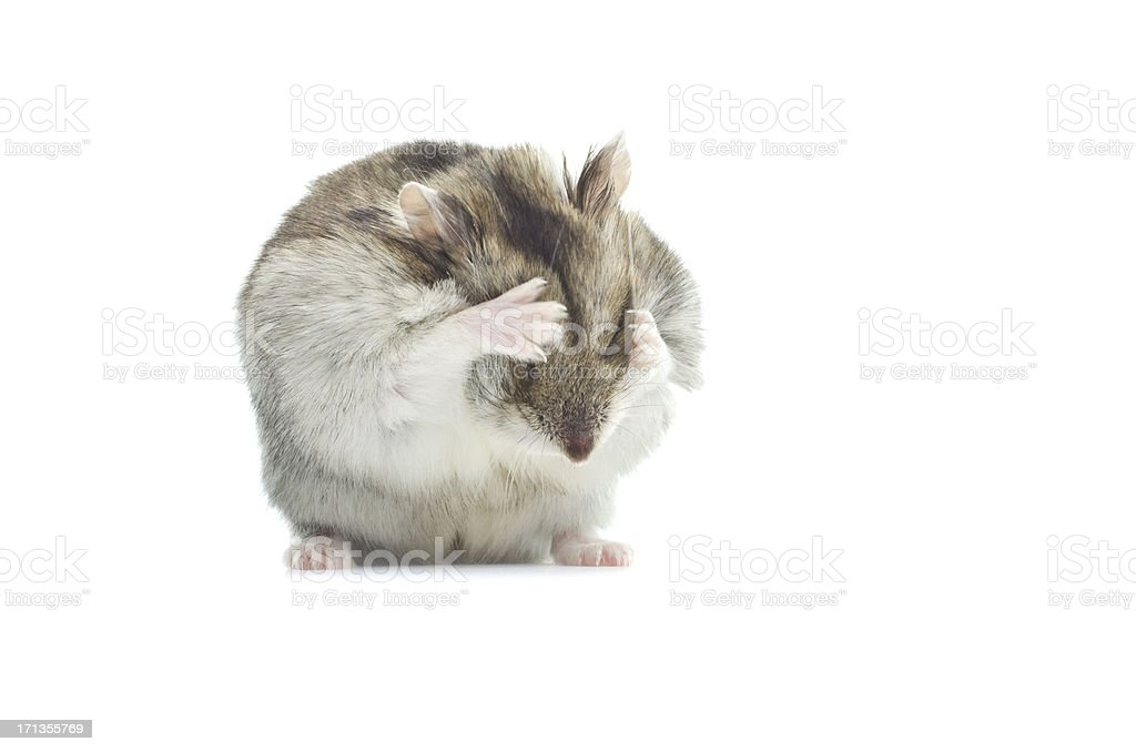washing djungarian hamster stock photo