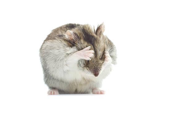 Laver djungarian hamster - Photo