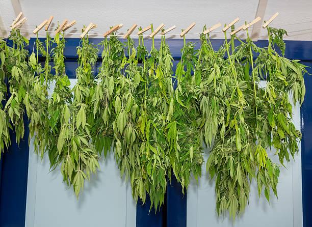 Washing line with drying hemp plants stock photo