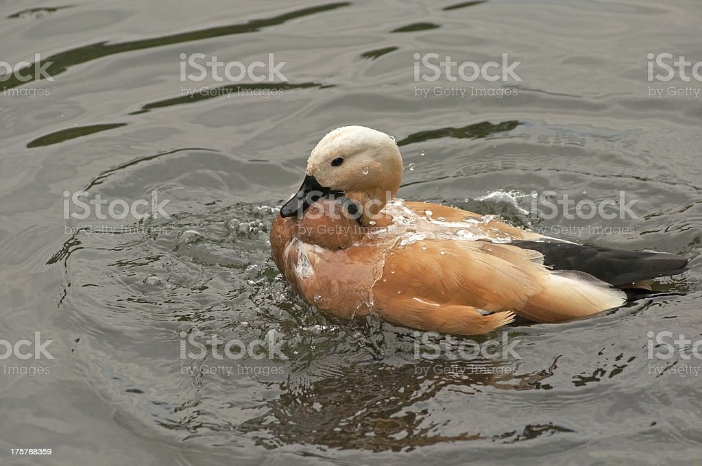 washing roody shelduck royalty-free stock photo