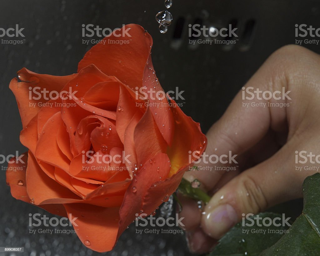 washing rose under tap royalty-free stock photo
