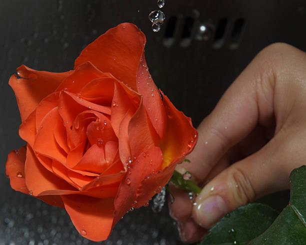 washing rose under tap stock photo