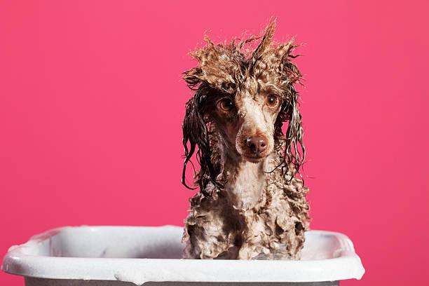 Laver le chien - Photo