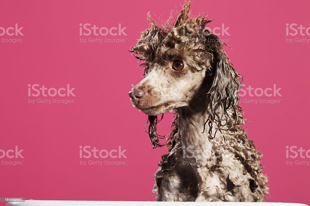 Waschen der Hund – Foto