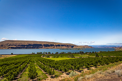 The Columbia River flows past an apple orchard in Washington.