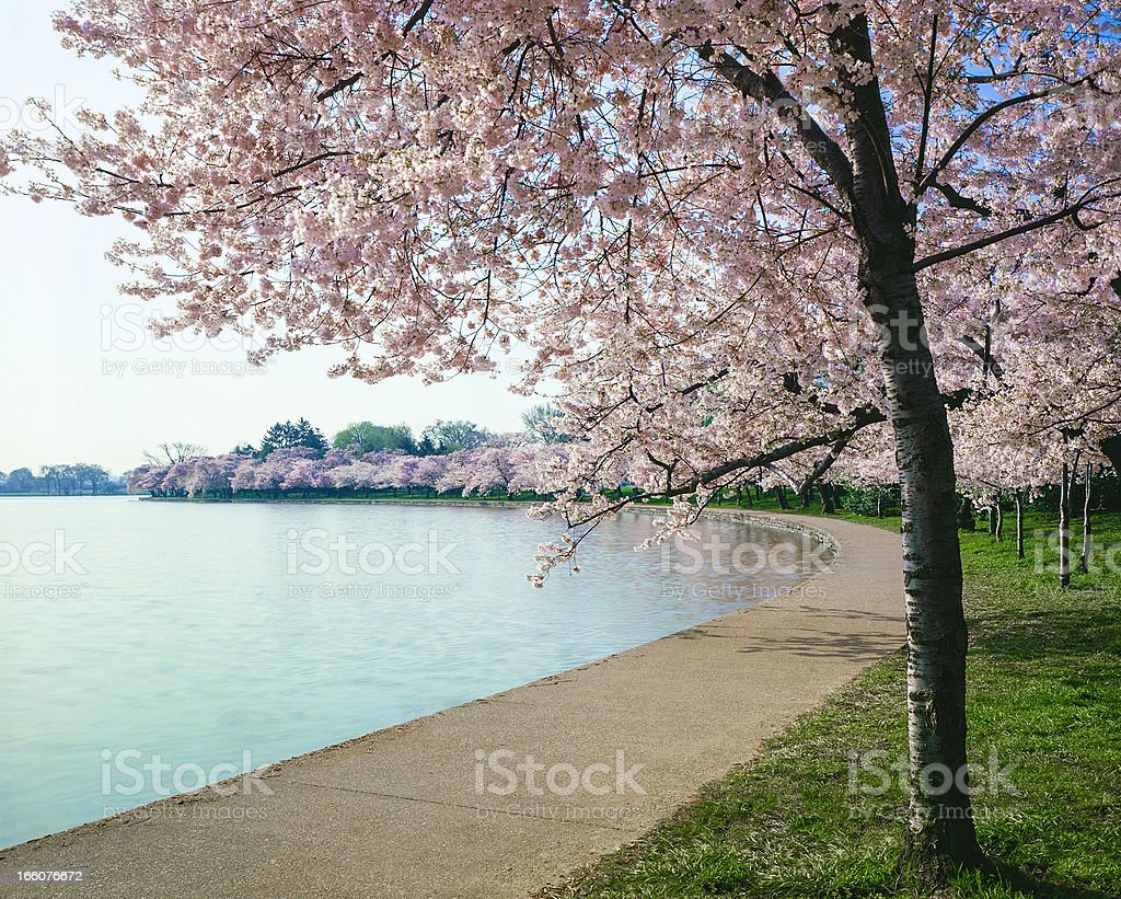 Washington DC cherry bloosoms, curved walkway and tidal basin royalty-free stock photo