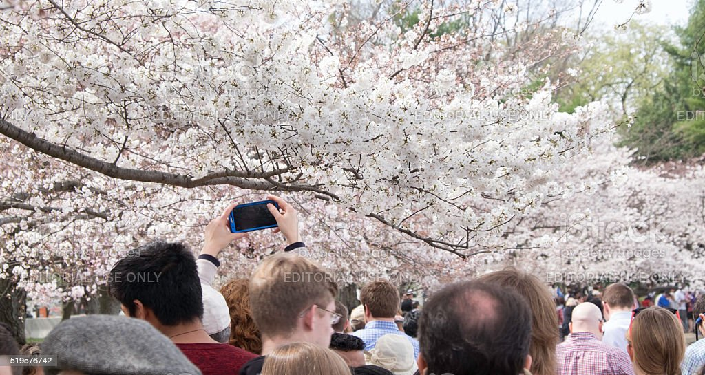 Washington DC cherry blossom capturing with a smart phone stock photo
