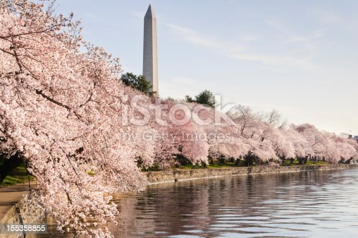George Washington Monument and flowering Japanese cherry trees that line the tidal basin in Washington DC.