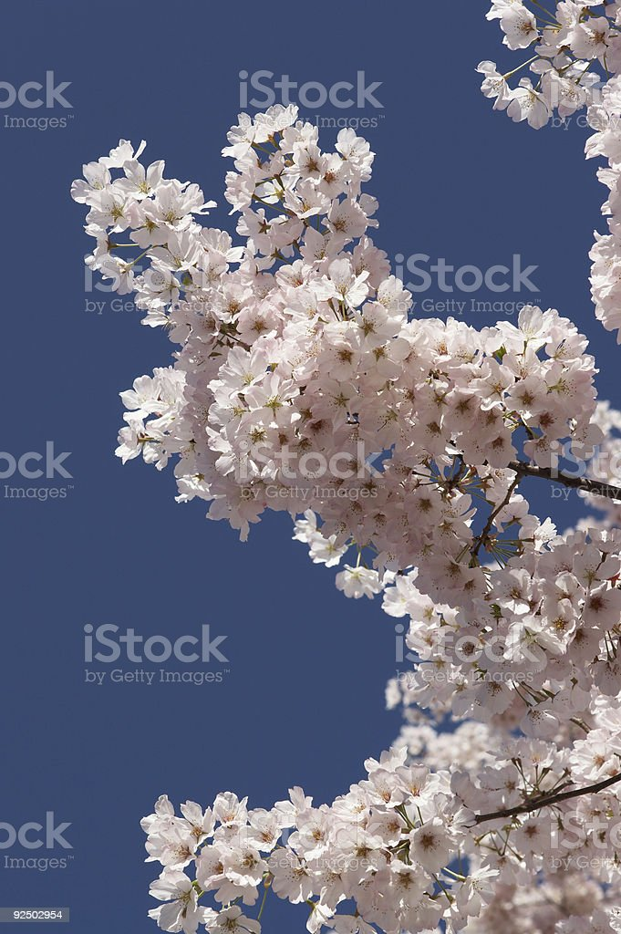 Washington DC Cherry Blossoms royalty-free stock photo