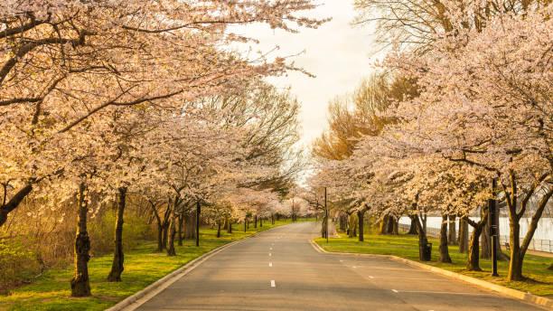Washington, D.C. cherry trees in full bloom stock photo