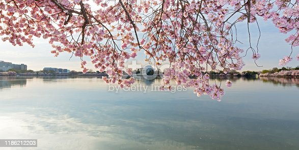 Thomas Jefferson Memorial with reflection at distance behind a blossom curtain.