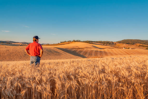 Washington-Bauer befasst sich mit Weizen Vista (P) – Foto
