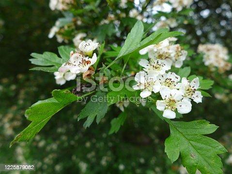 washington hawthorn tree in bloom