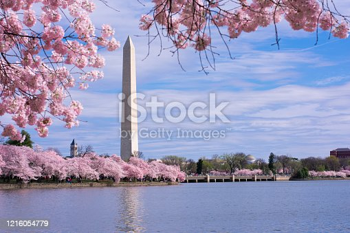 Washington Monument framed with cherry blossoms. Spring in Washington, D.C. at the Tidal Basin.