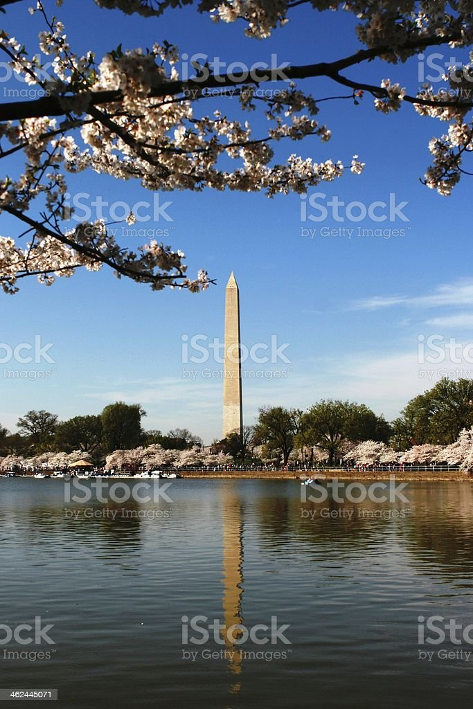 Washington Monument with Cherry Blossom stock photo
