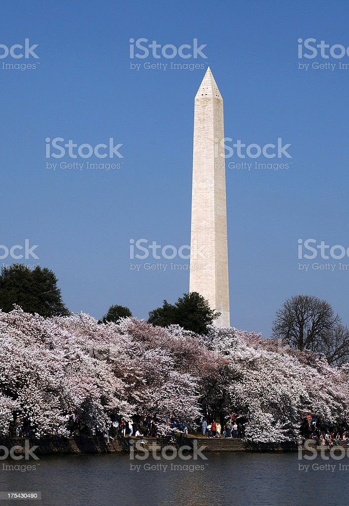 Washington Monument with Cherry Blossoms royalty-free stock photo