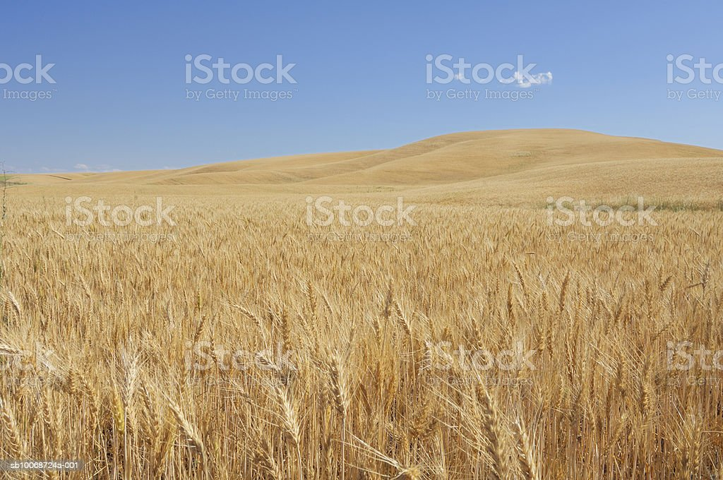 USA, Washington, Palouse, Colfax, Rolling fields of wheat royalty free stockfoto