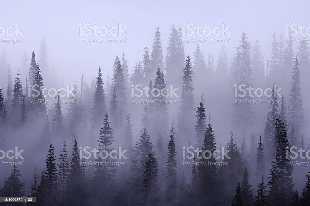 USA, Washington, Pierce County, Mount Rainier National Park, Cascade Range, Mist in  forest 免版稅 stock photo