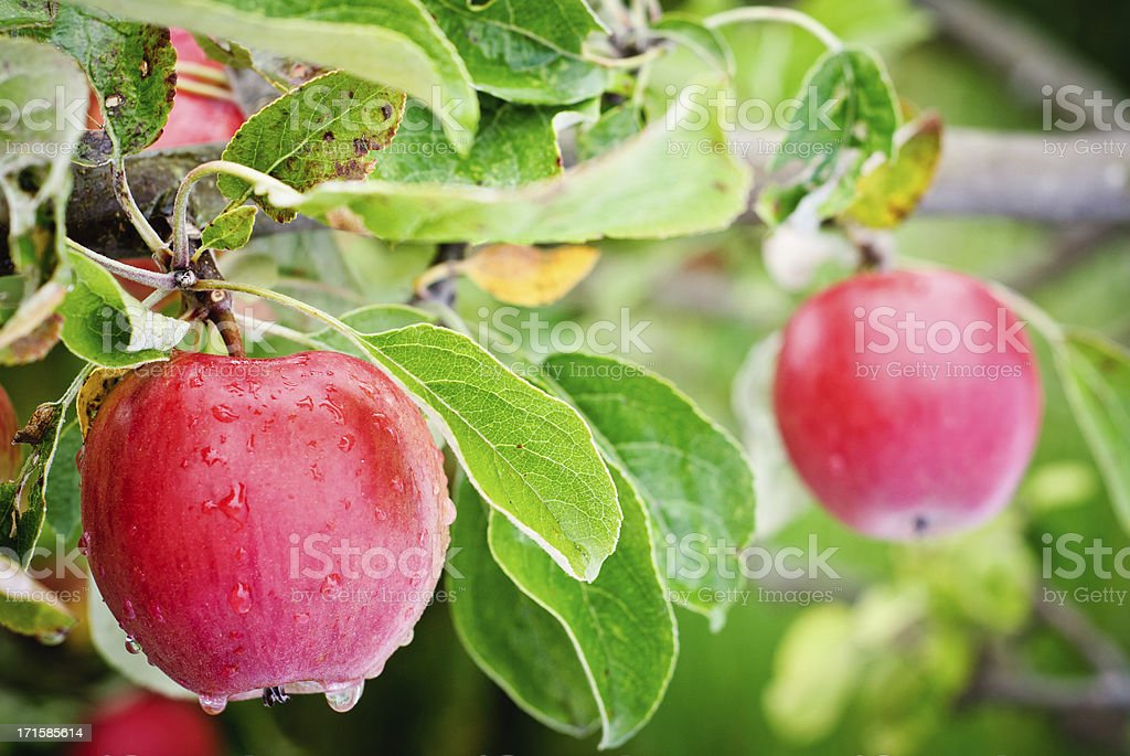 Washington State Apples Hanging from the tree stock photo