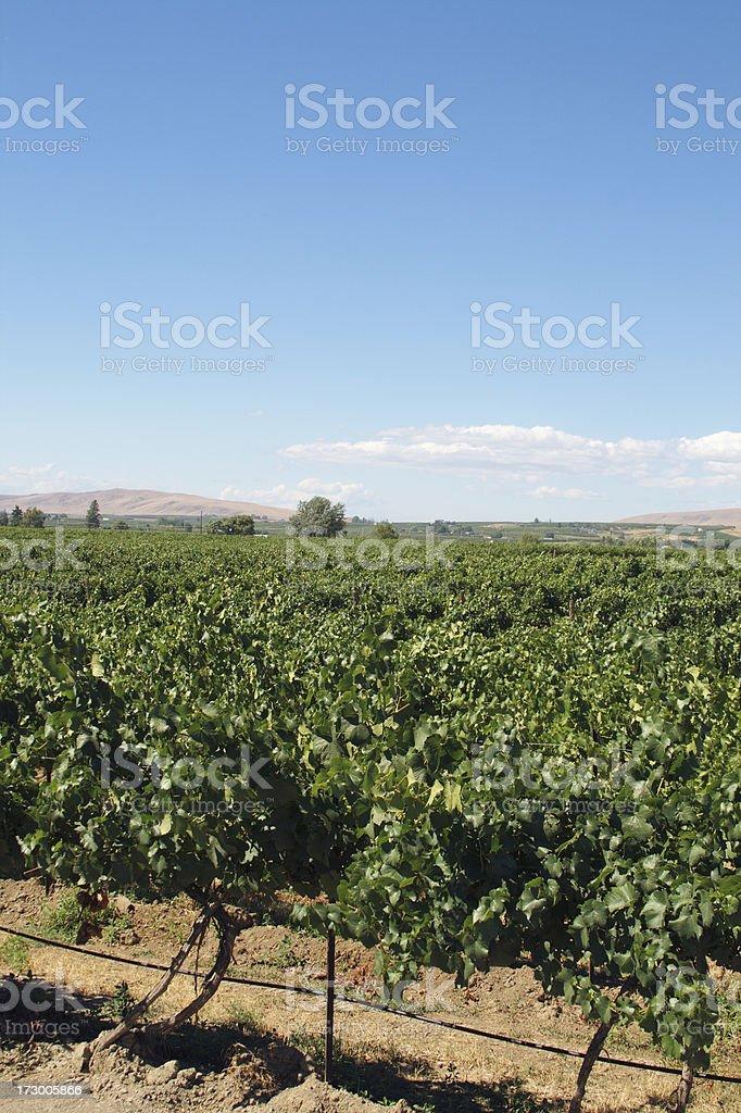 Washington state vineyard royalty-free stock photo