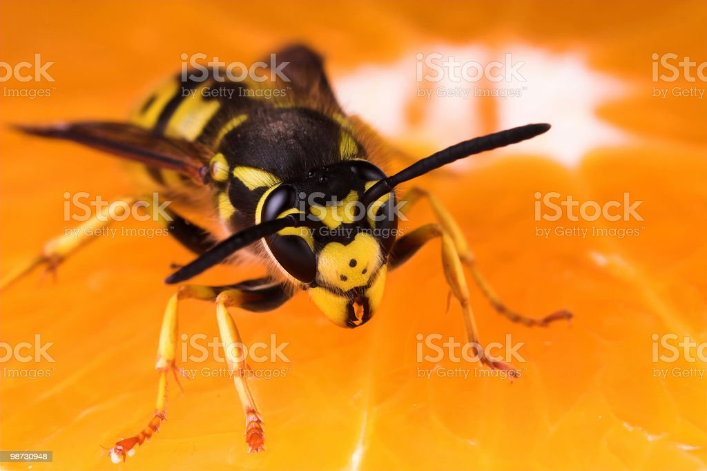 Wasp and orange royalty-free stock photo