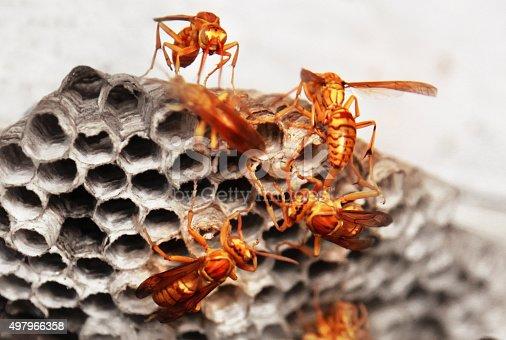 Wasp And Vespiary Close Up