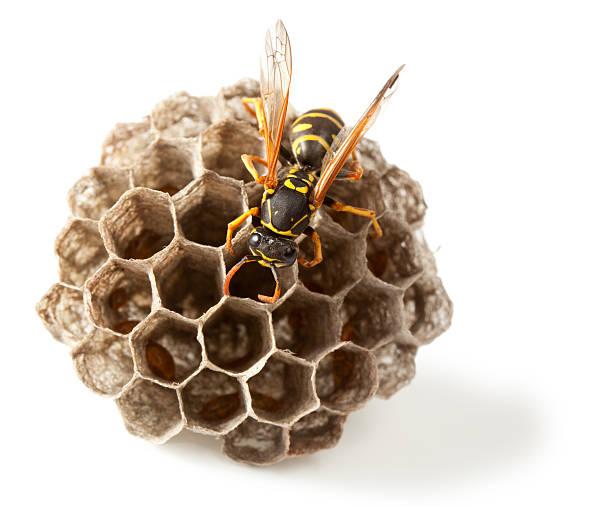 Wasp and vespiary stock photo