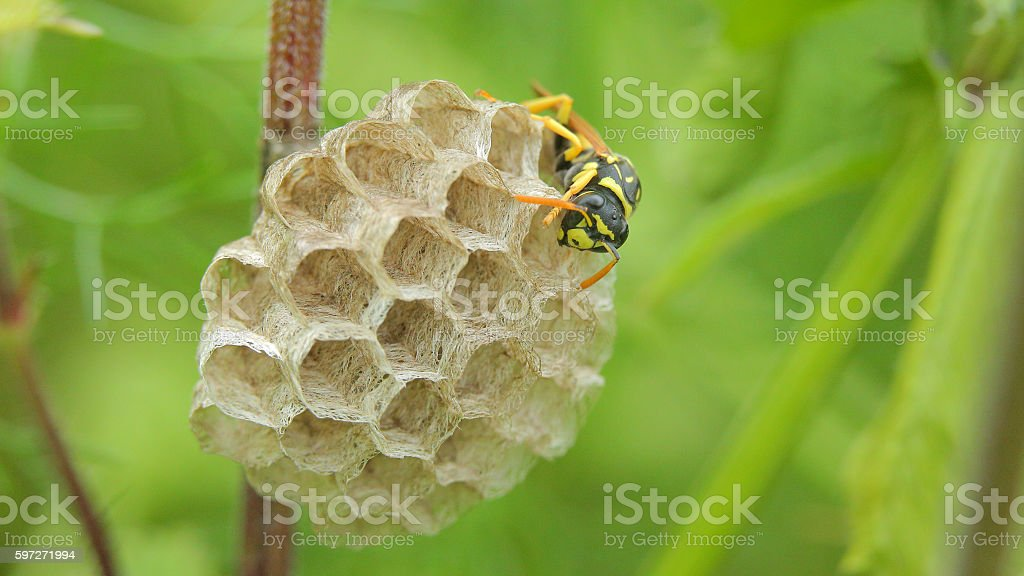 Wasp building a wasp's nest royalty-free stock photo